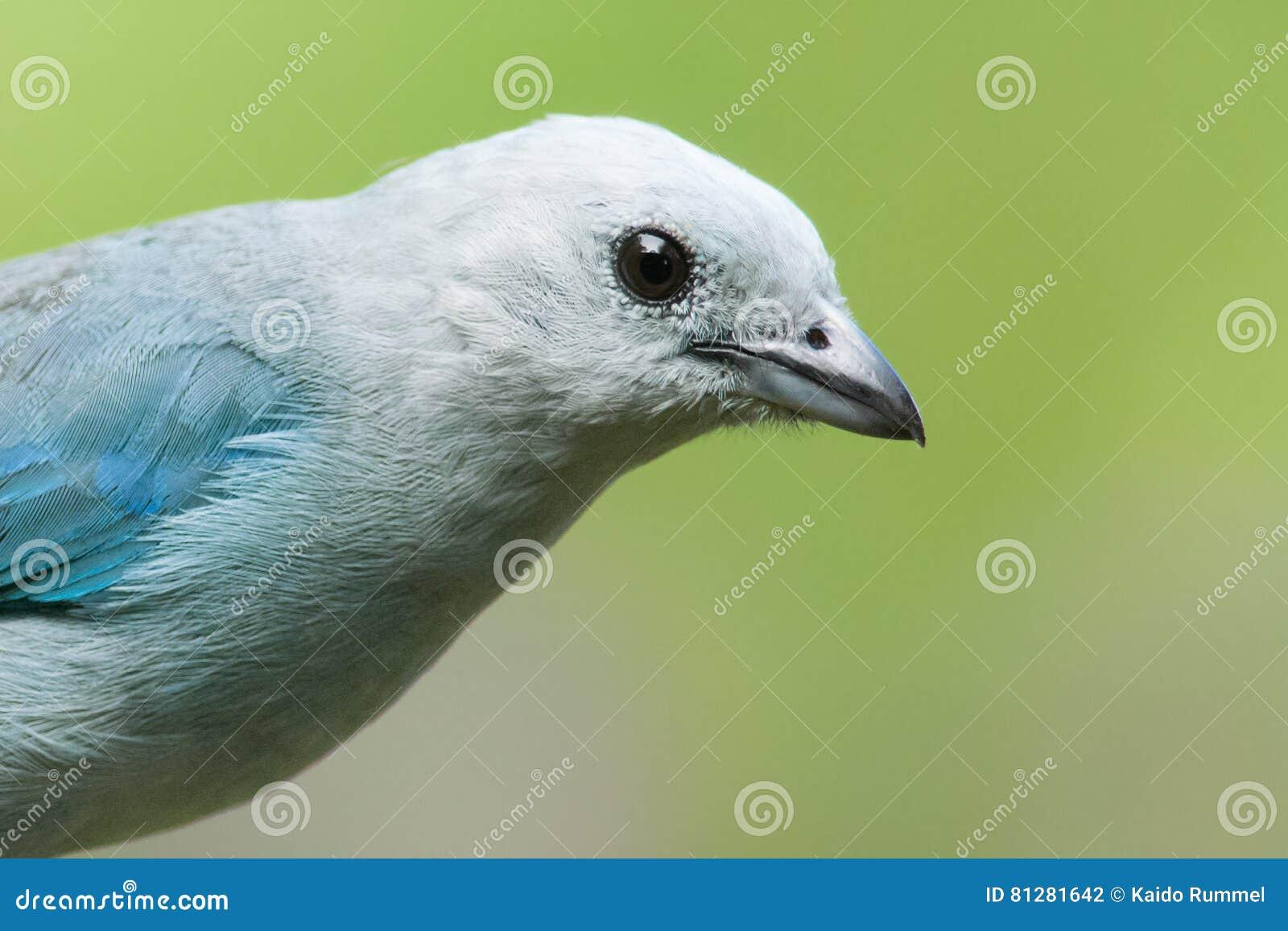 Blauw-grijze Tanager