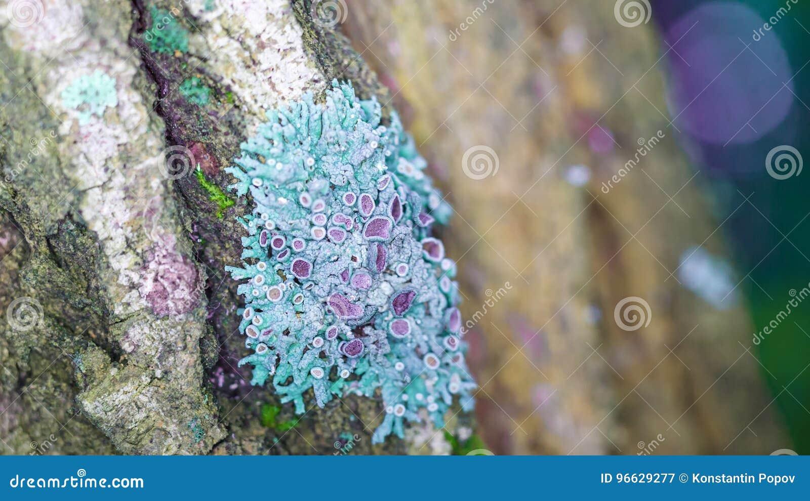 Blauw korstmos