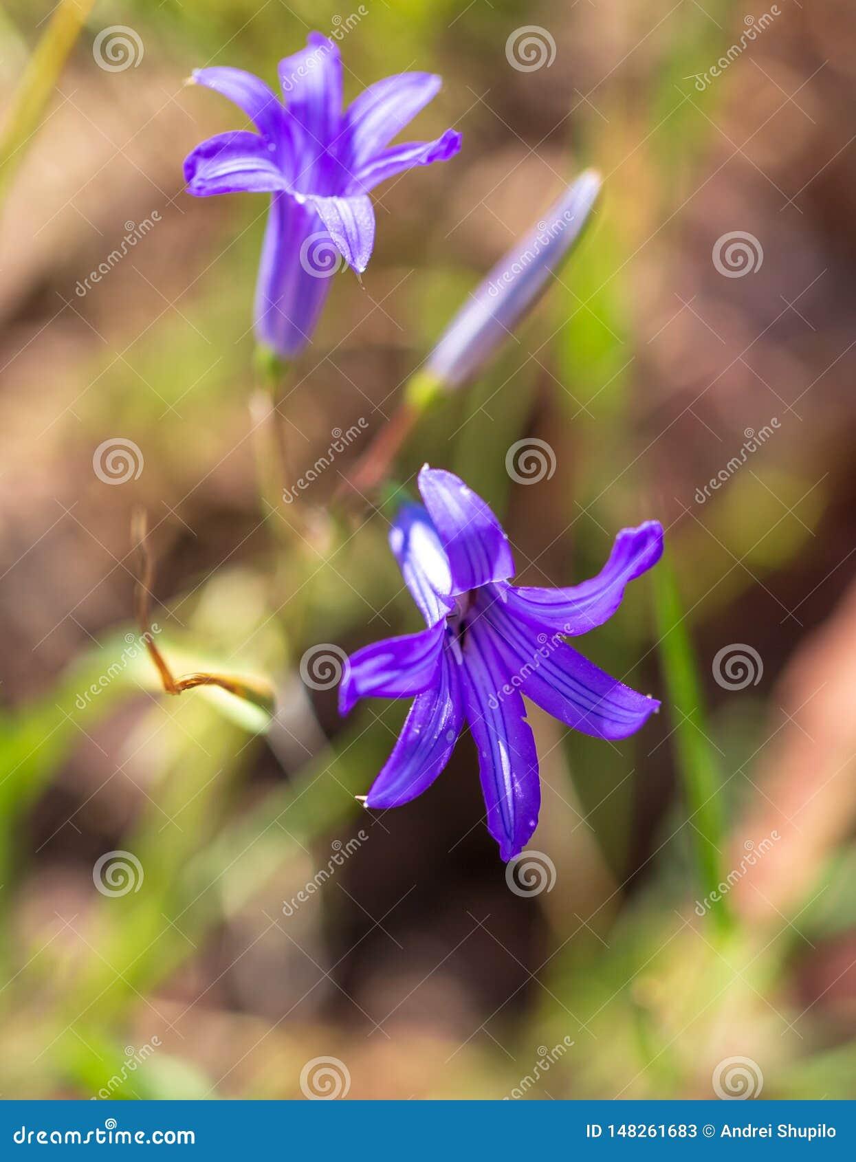 Blauwe bloem in de de lentesteppe