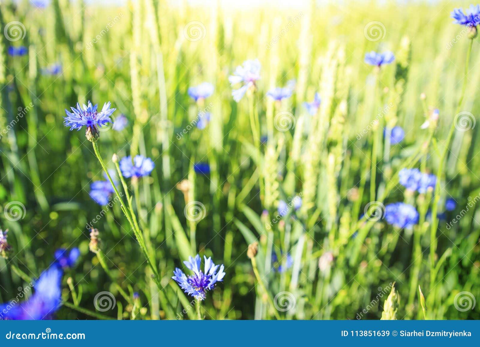 Blauwe bloemen op groene de zomerweide Kruiden en bloem op de lentegebied De achtergrond van de aard