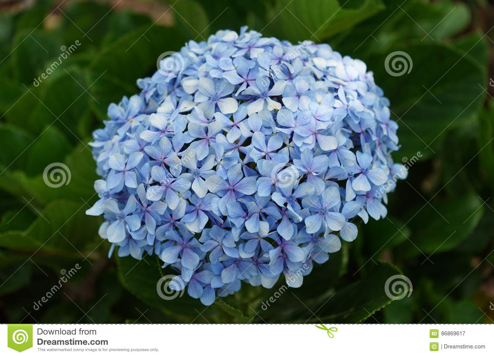 Blauwe bloemhydrangea hortensia Sluit omhoog