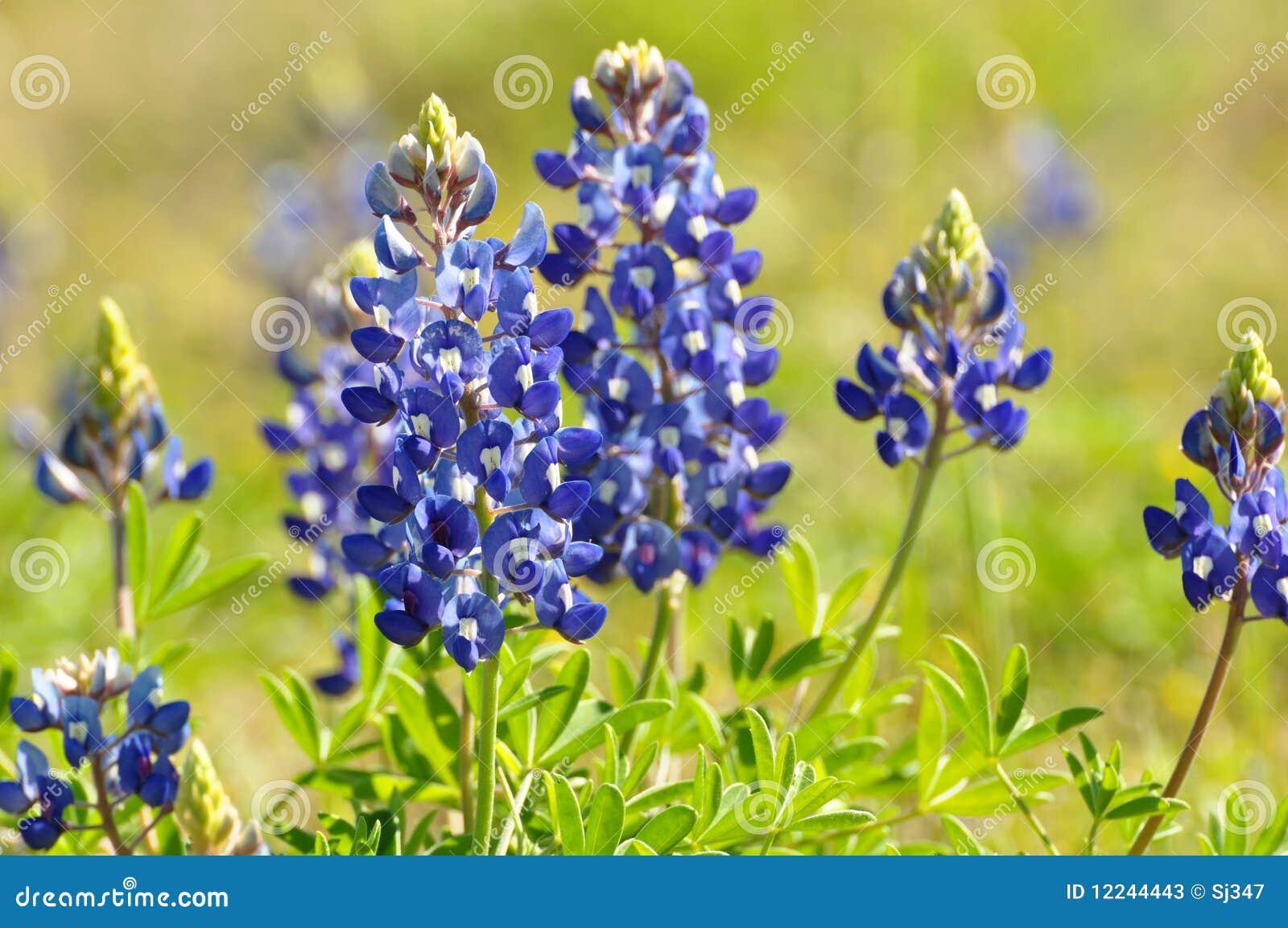 Blauwe Bonnet