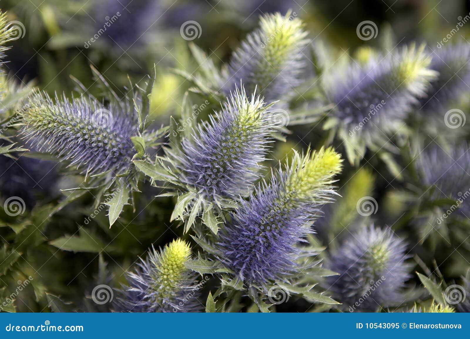 Blauwe braam