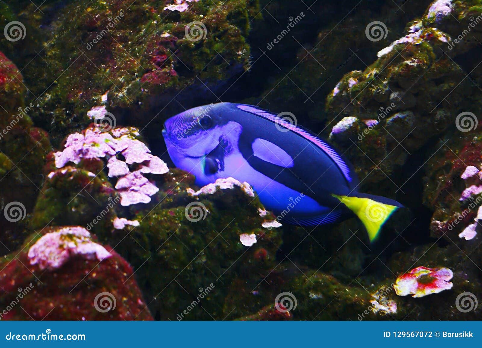 Blauwe die hepatus van zweempjeparacanthurus, ook als Palet wordt bekend surgeonfish, vorstelijk zweempje in hun habitat