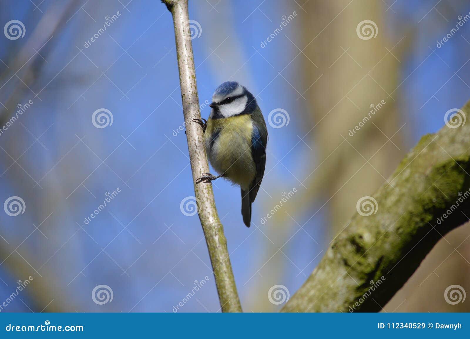Blauwe die meesvogel in Blackpool, Lancashire, het UK wordt gefotografeerd