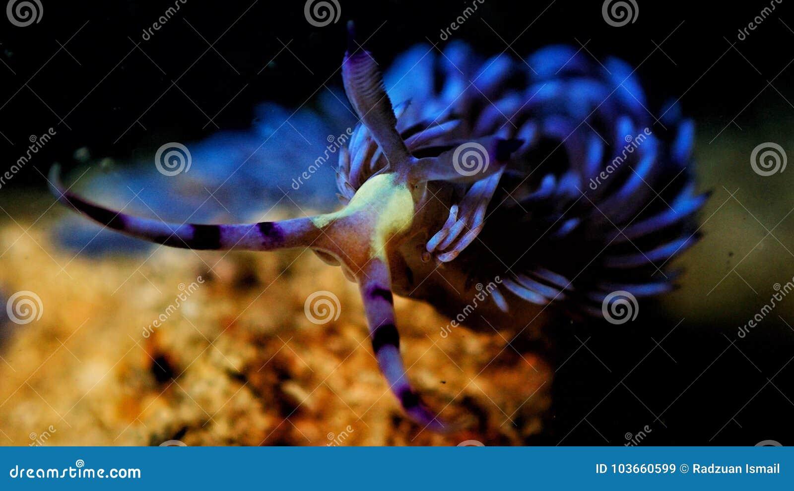 De Blauwe Draak.Blauwe Draak Stock Afbeelding Afbeelding Bestaande Uit Koraal