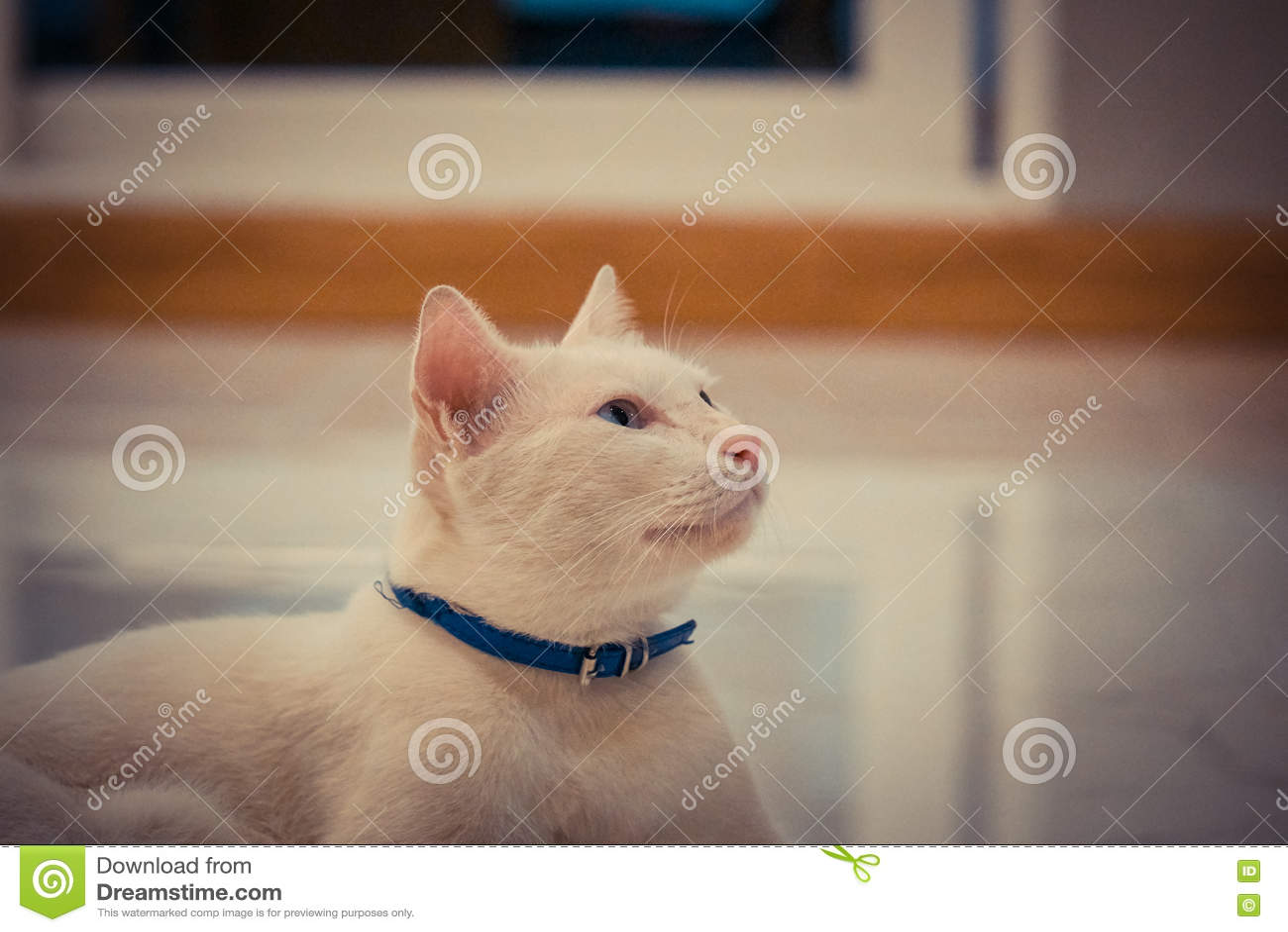 Blauwe en Gele eyed kat
