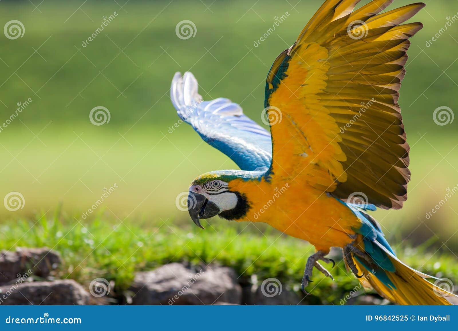 Blauwe en gele gouden ara Mooie papegaaivogel die in cl vliegen