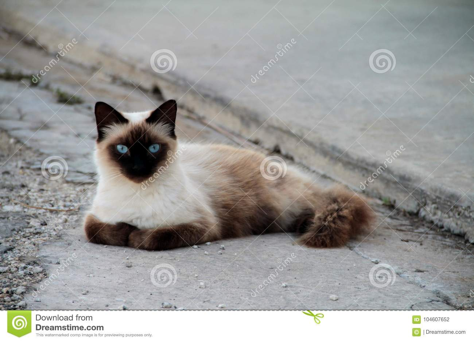 Blauwe eyed Siamese kat