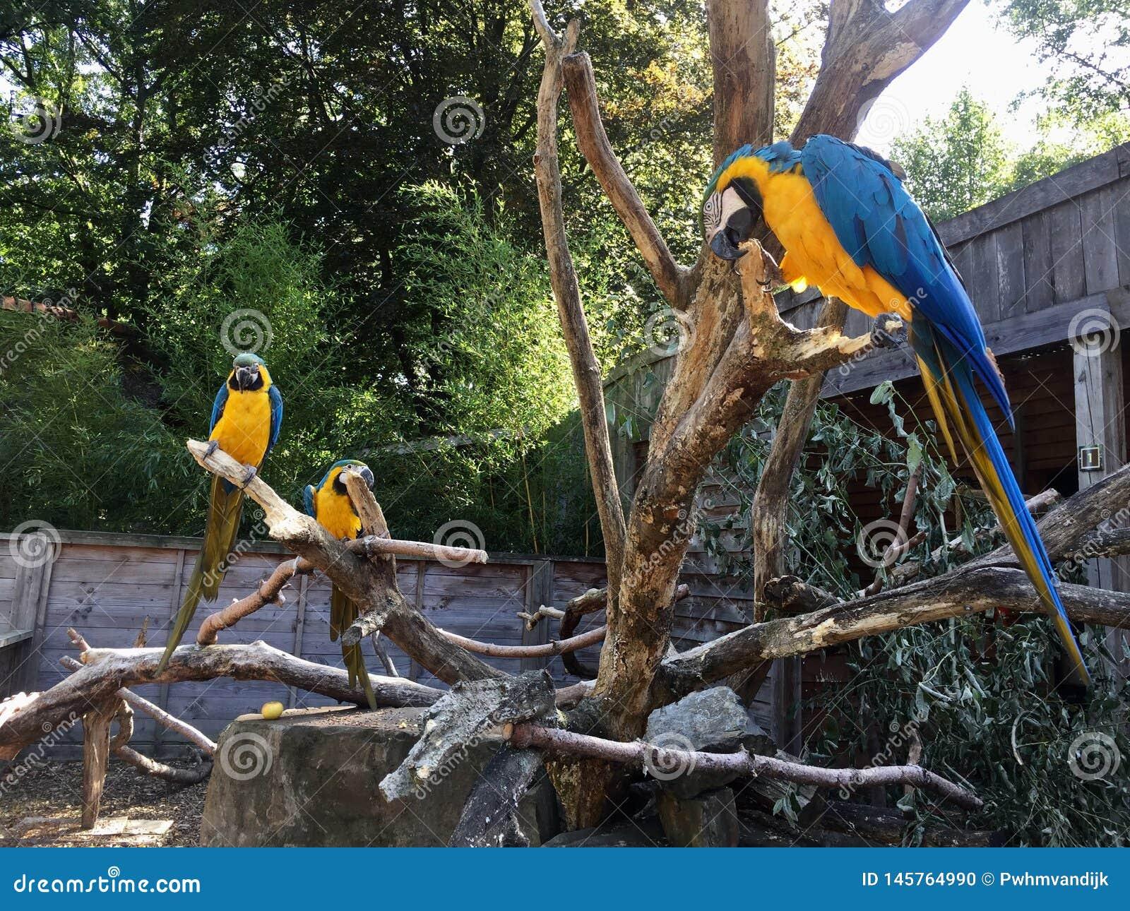Blauwe Gele Macow-Papegaai