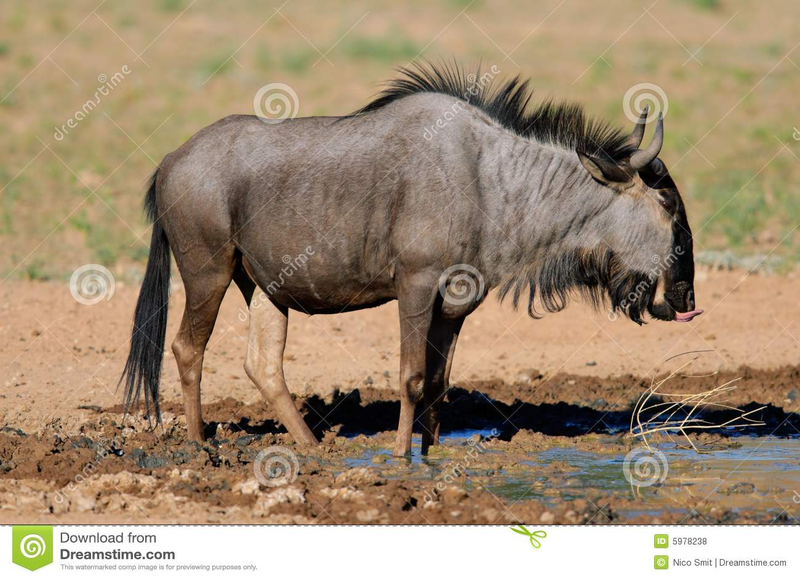 Blauwe het meest wildebeest