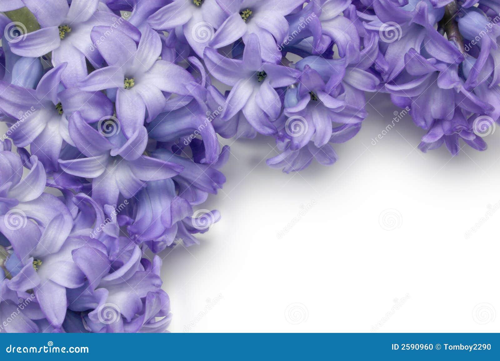 Blauwe Hyacint