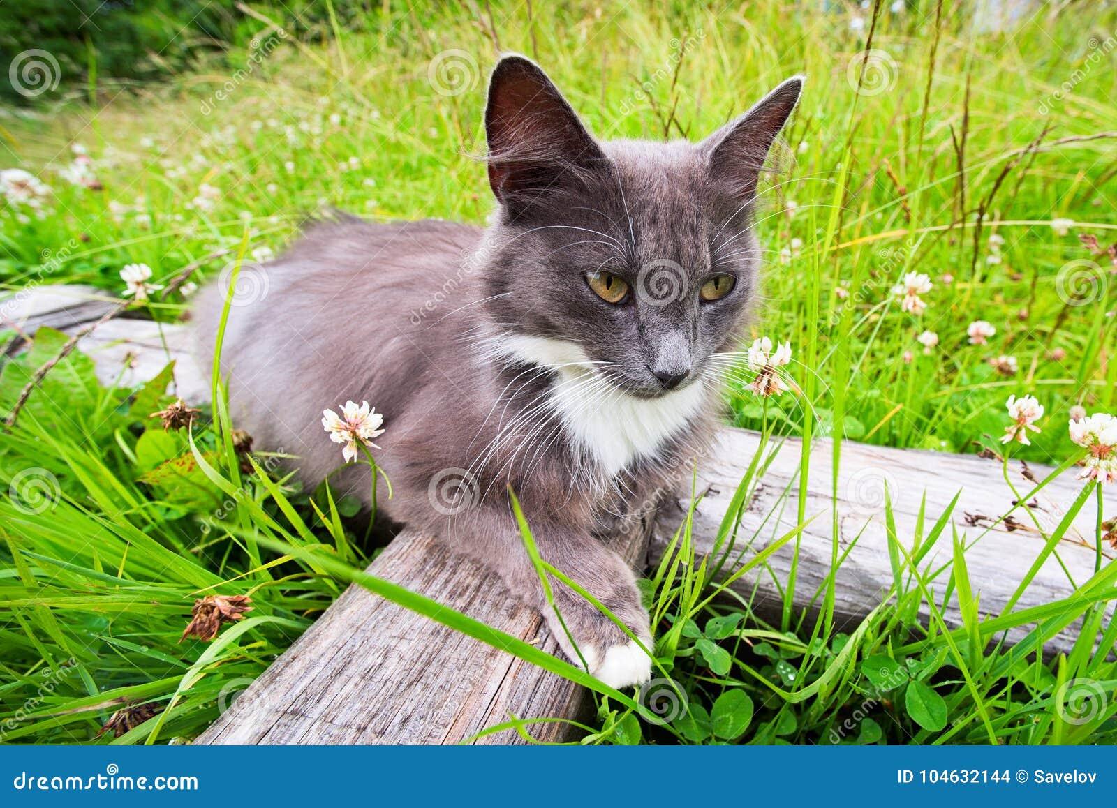 Download Blauwe Kat Met Een Witte Punt In Het Dorp Stock Foto - Afbeelding bestaande uit punt, jager: 104632144