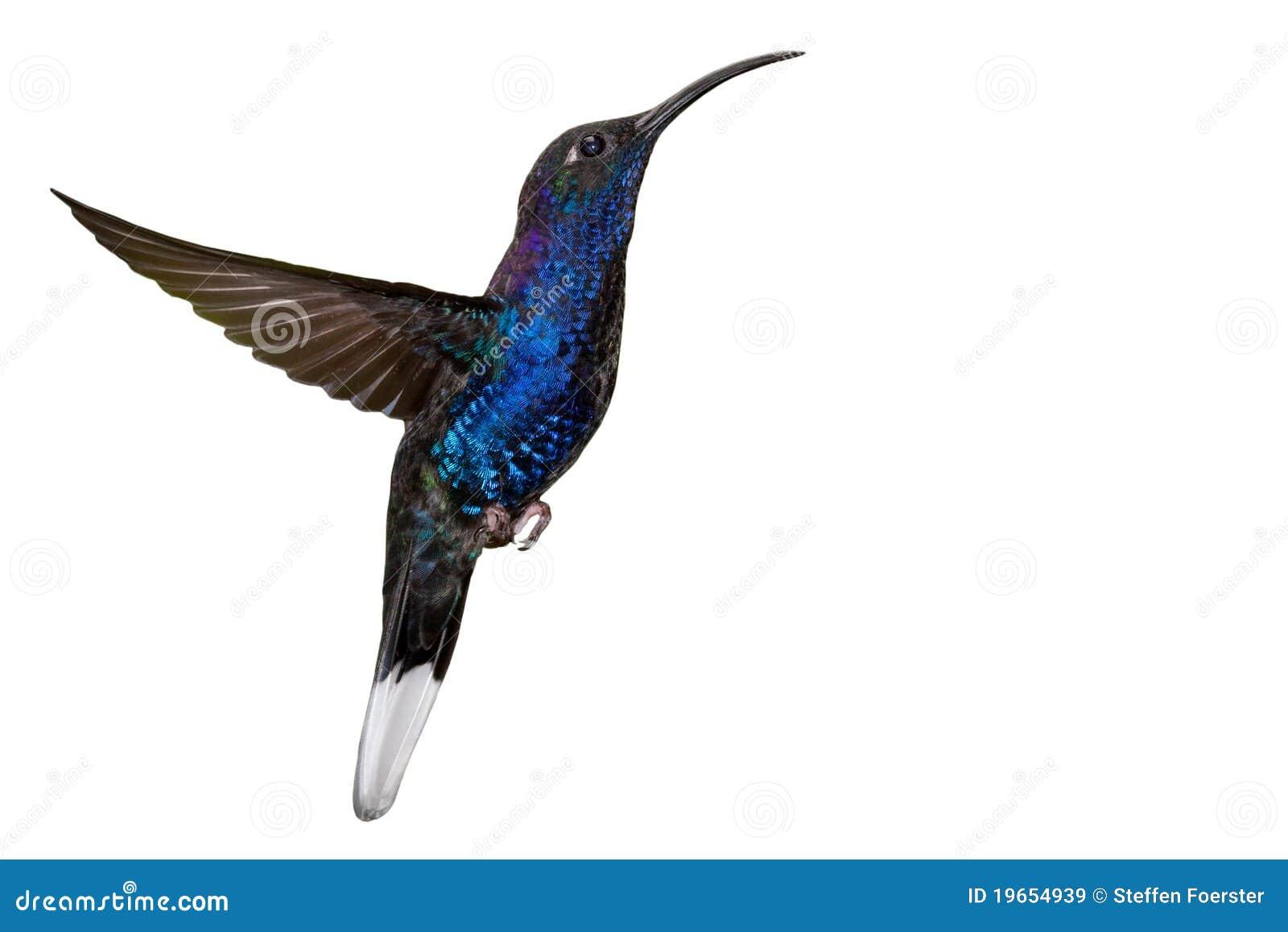 Blauwe kolibrie die tijdens de vlucht op wit wordt geïsoleerdn