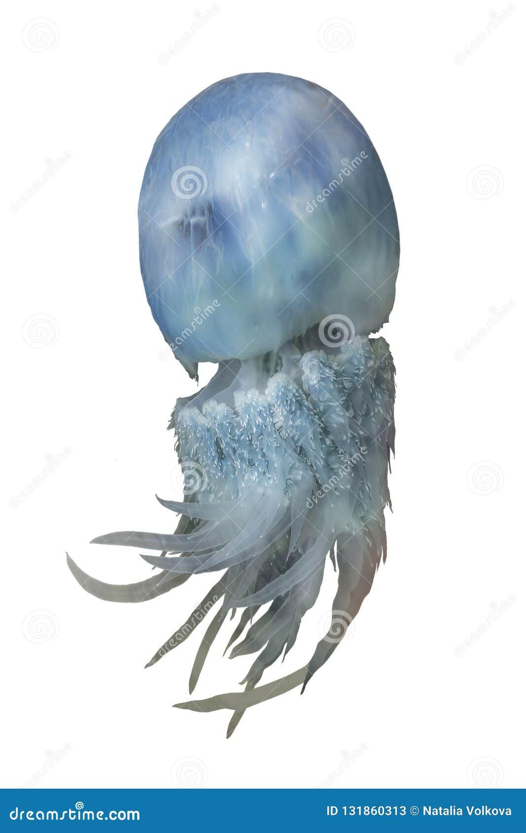 Blauwe kwallenrhopilema van het overzees van Japan