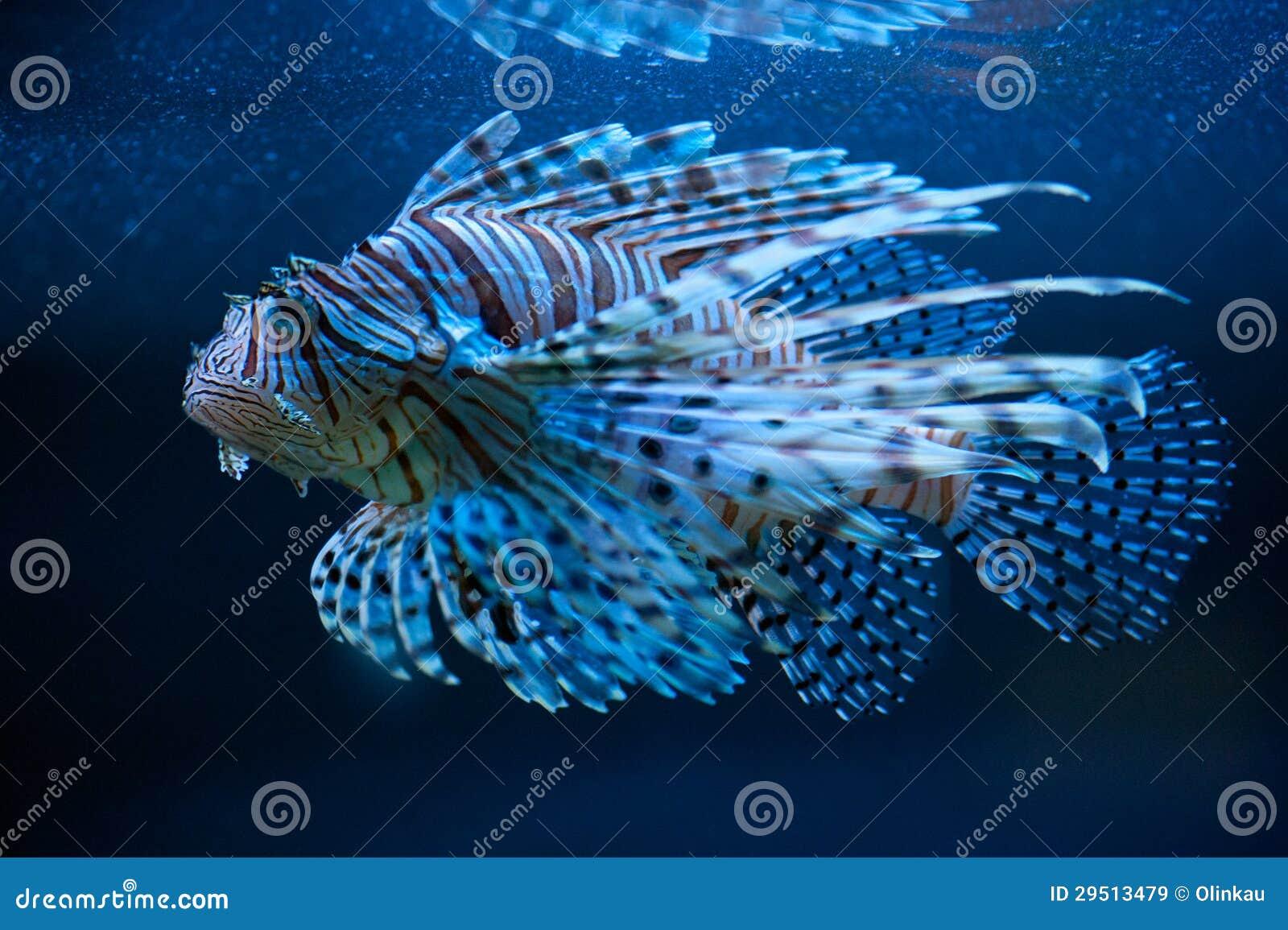 Blauwe lionfish