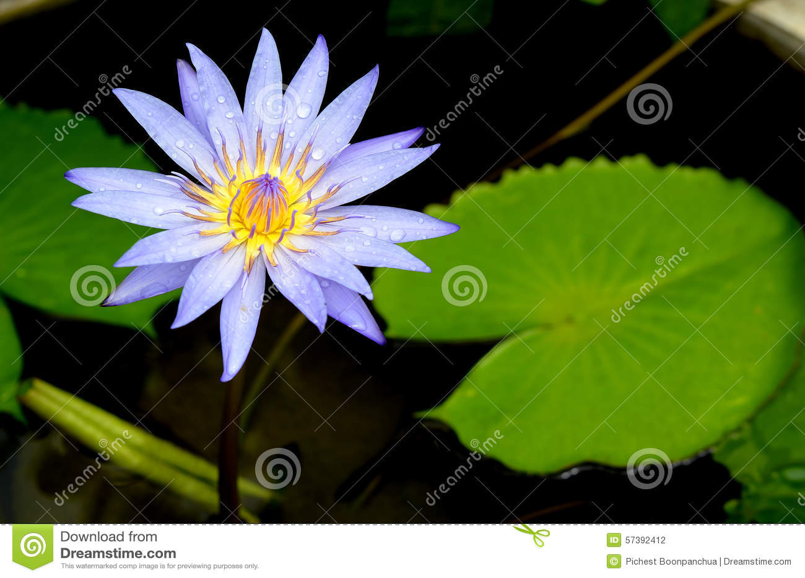 Blauwe lotusbloembloem op de vijver