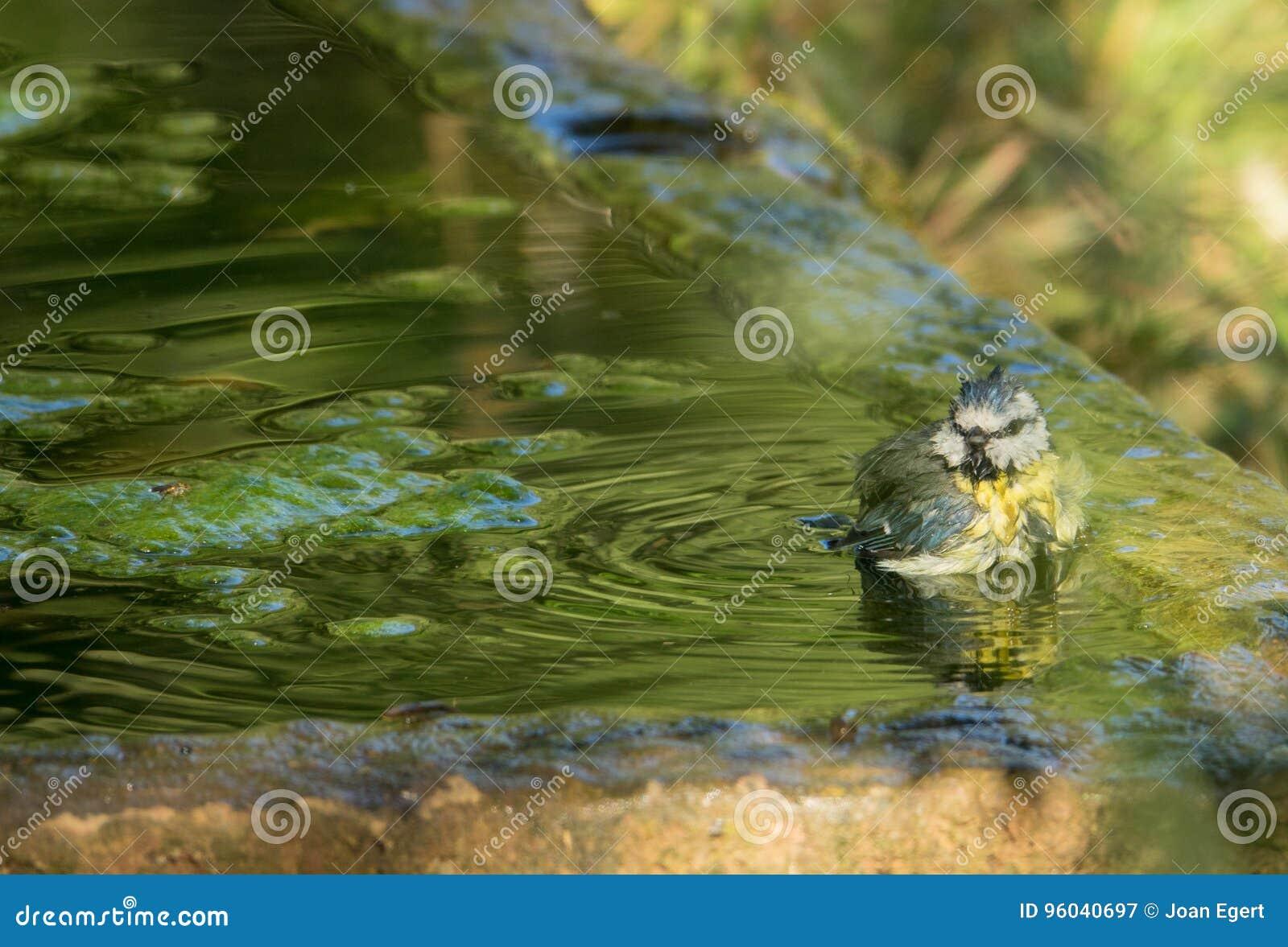 Blauwe Mees die een bad in oude steenpool nemen