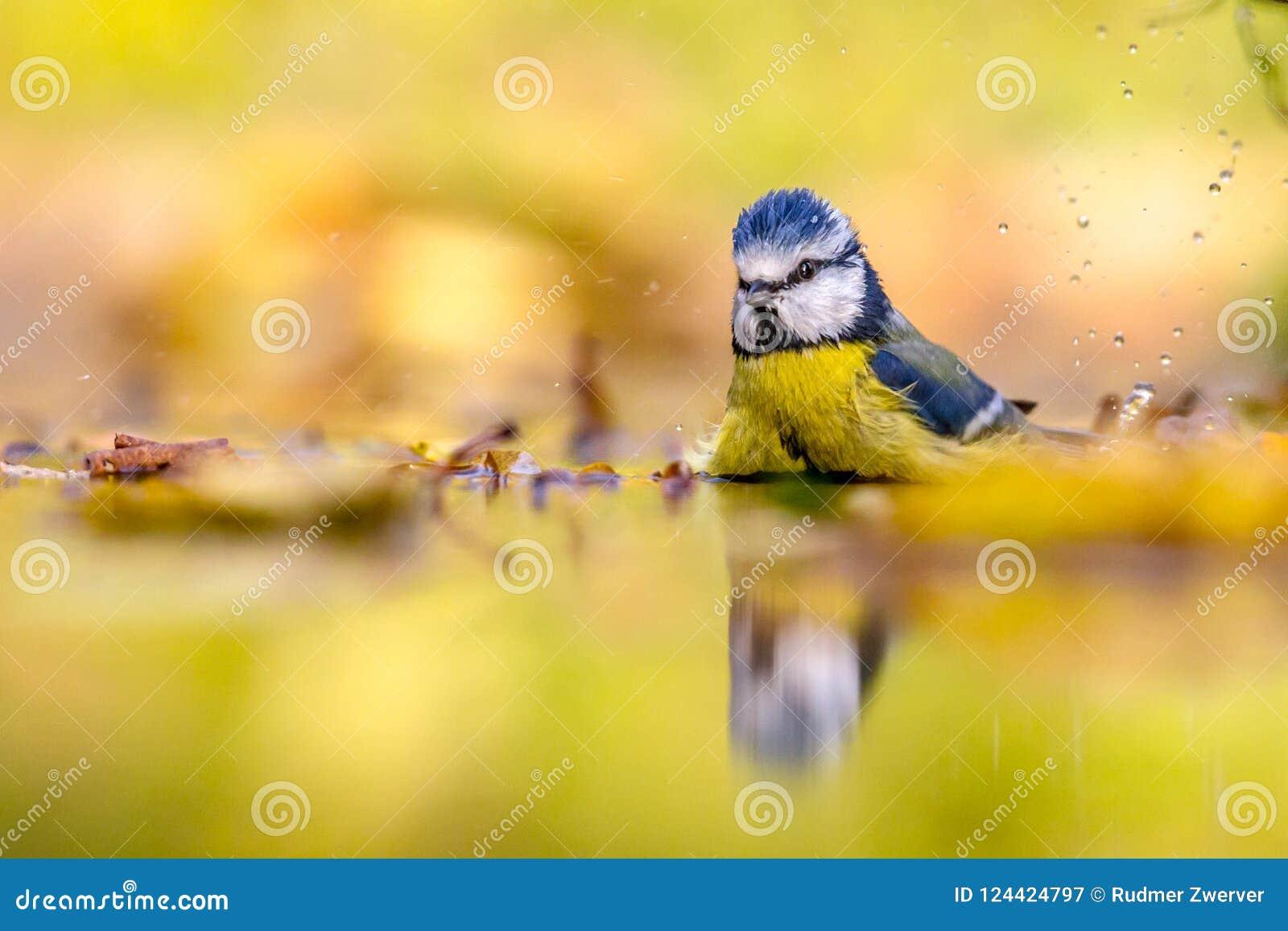 Blauwe mees op de achtergrond van de waterherfst