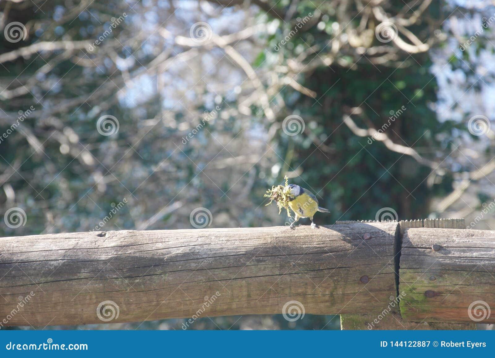 Blauwe mees op omheining met mos voor de bouw van nest