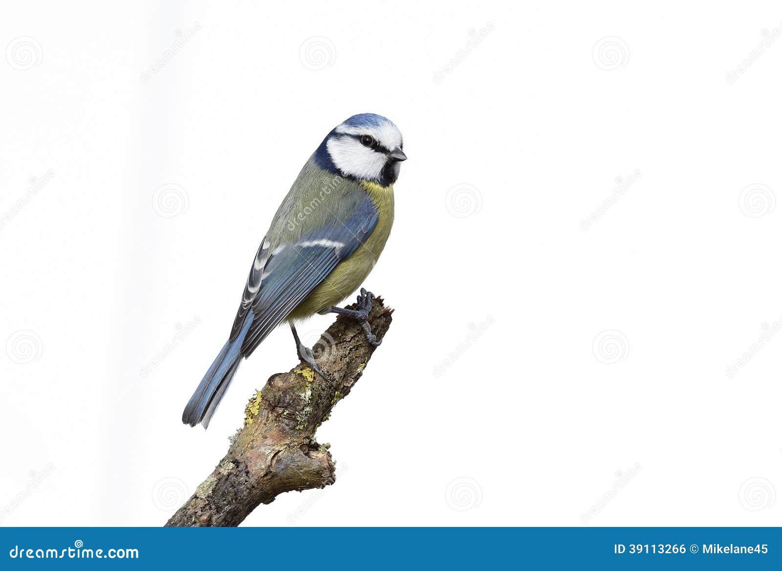 Blauwe mees, Parus-caeruleus