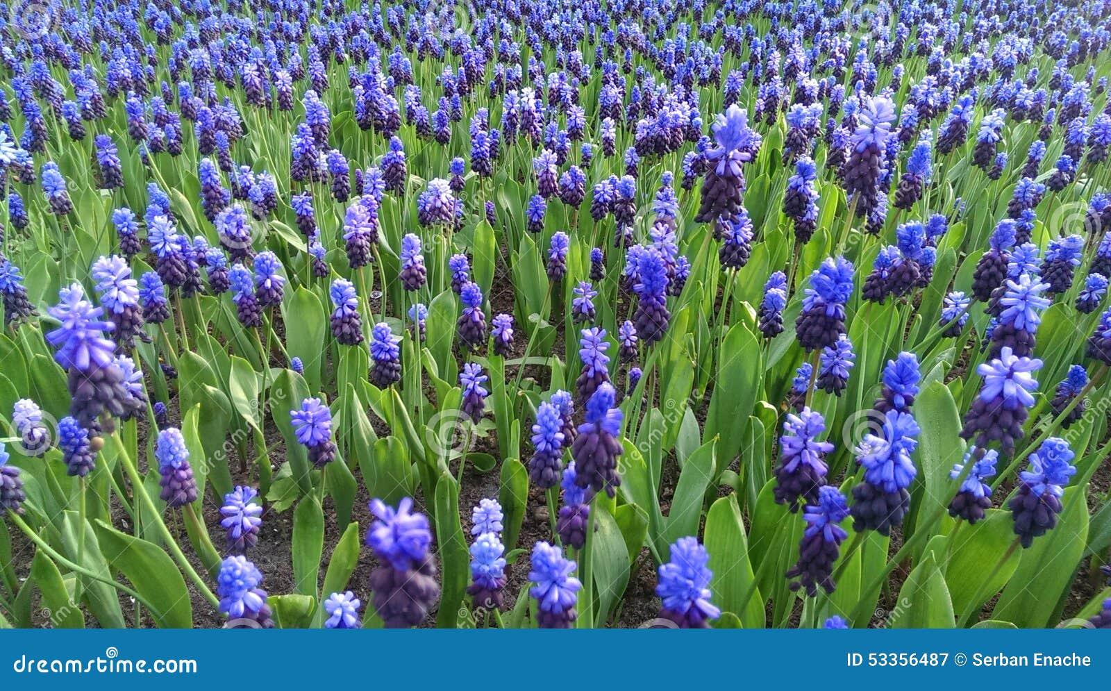 Blauwe muscaribloemen
