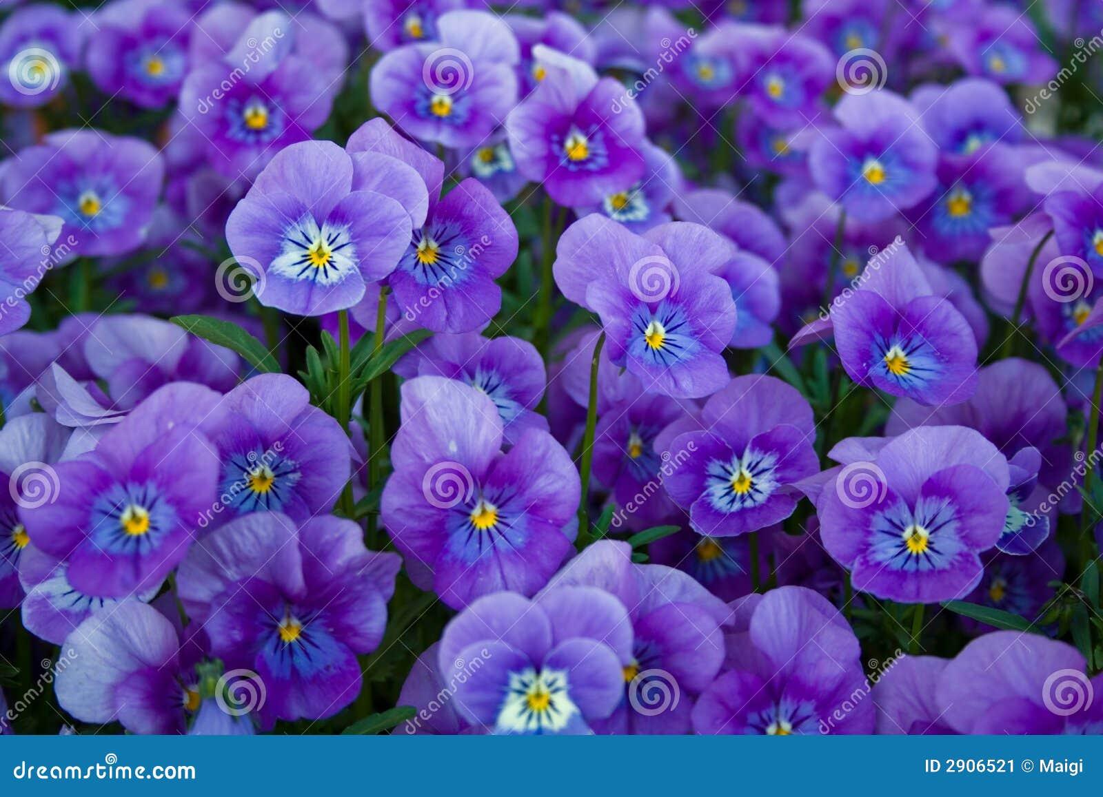 Blauwe pansies