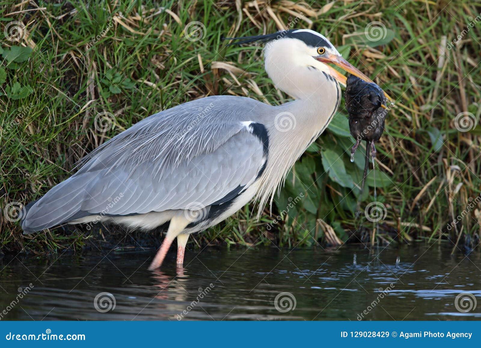 Blauwe Reiger; Grey Heron; Ardea cinerea