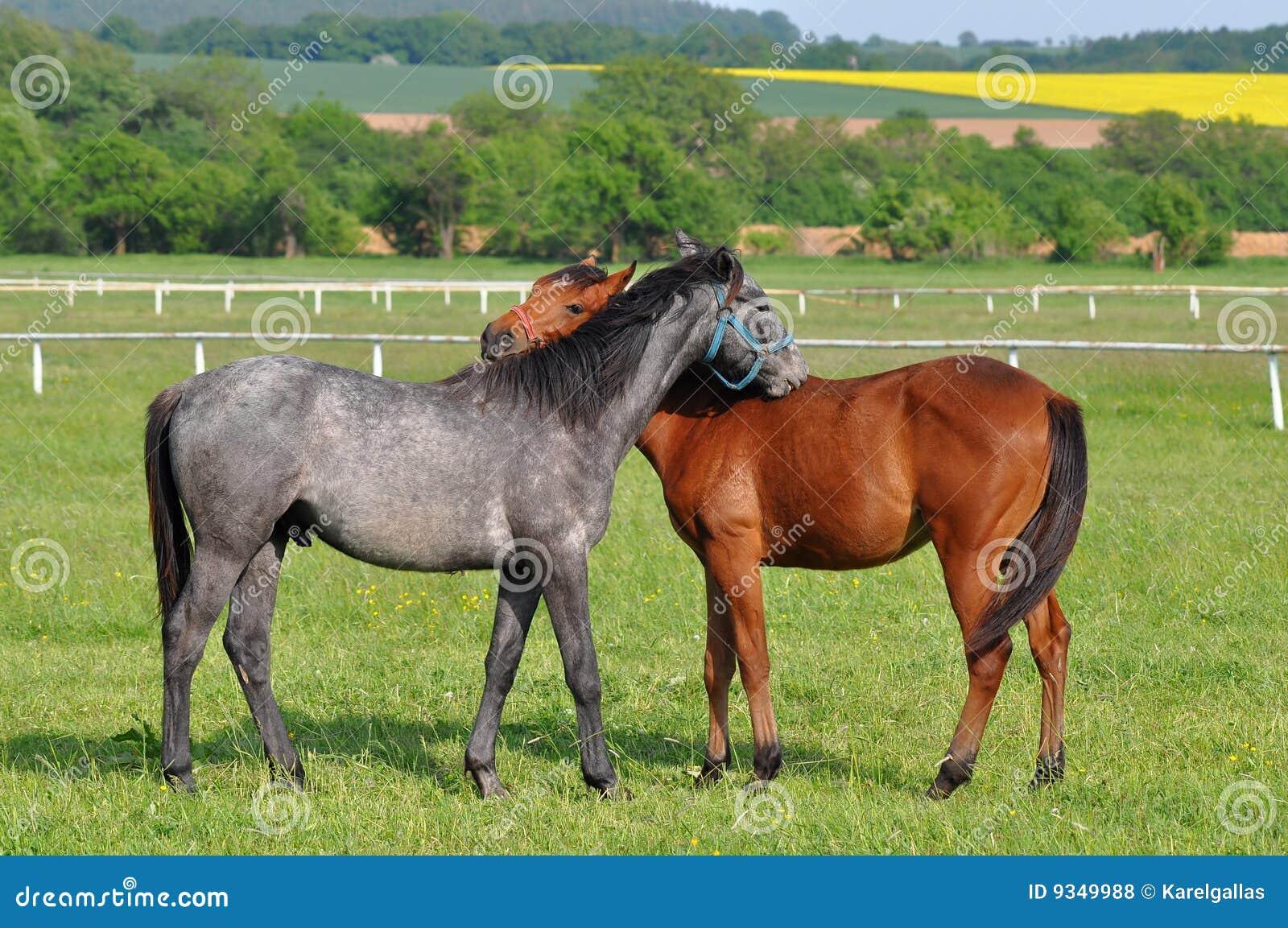 Blauwe roan en kastanjepaarden in greep