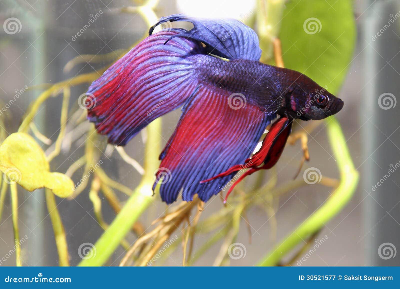 Blauwe siamese het vechten vissen