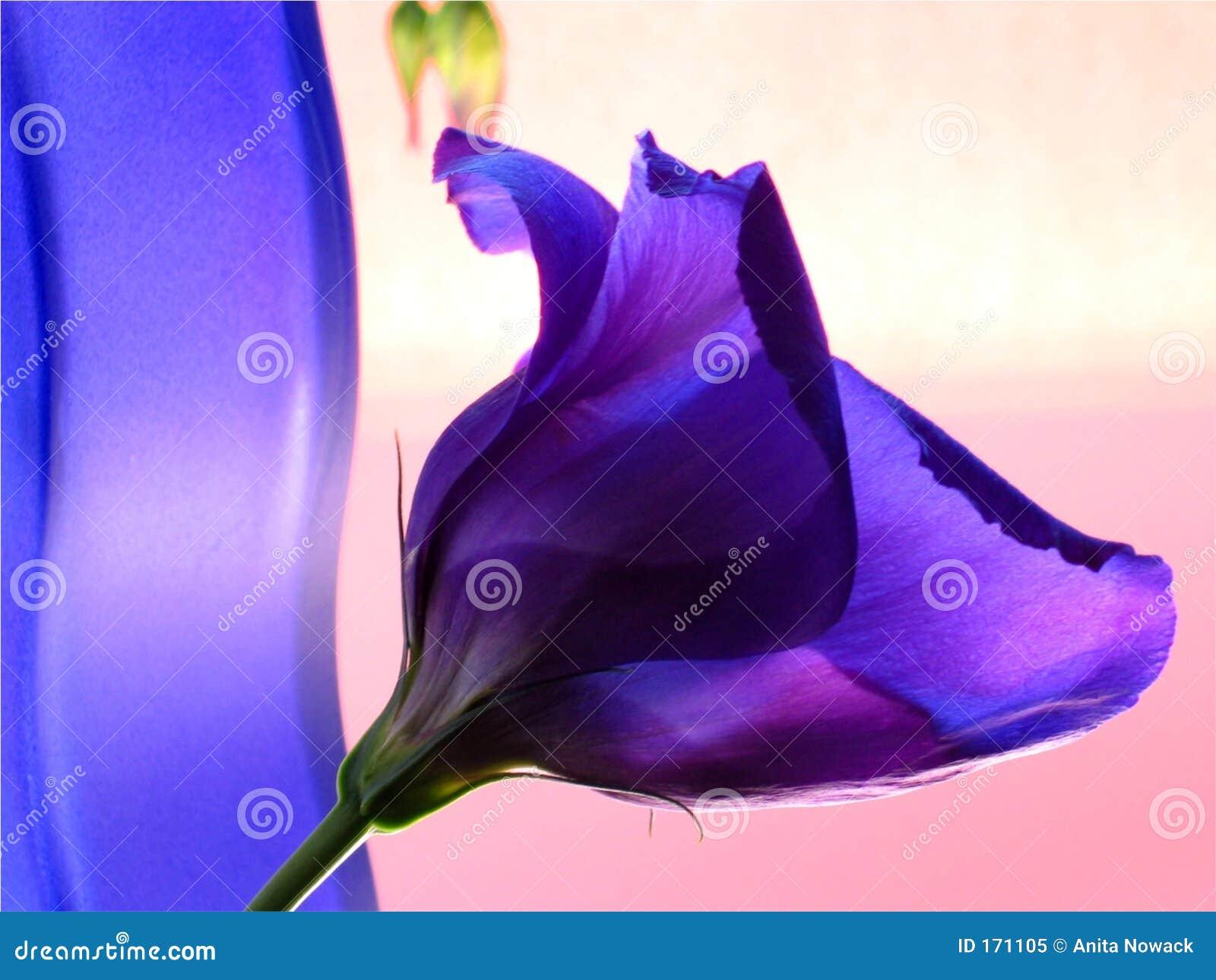 Blauwe vaas en blauwe bloem op roze achtergrond