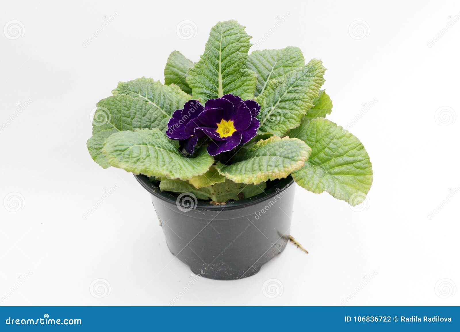 Blauwe violette Primula sleutelbloem De Primula van de de lentebloem met groen doorbladert geïsoleerd op witte achtergrond
