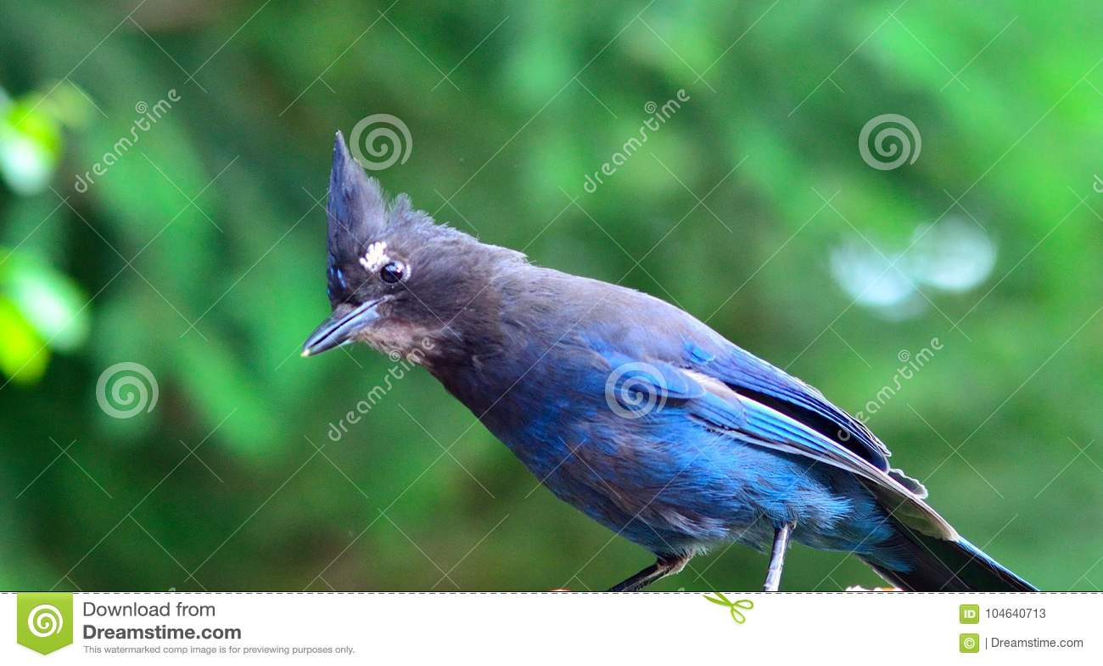 Download Blauwe Vlaamse Gaai In Het Bos Stock Afbeelding - Afbeelding bestaande uit altijdgroen, paardevlieg: 104640713