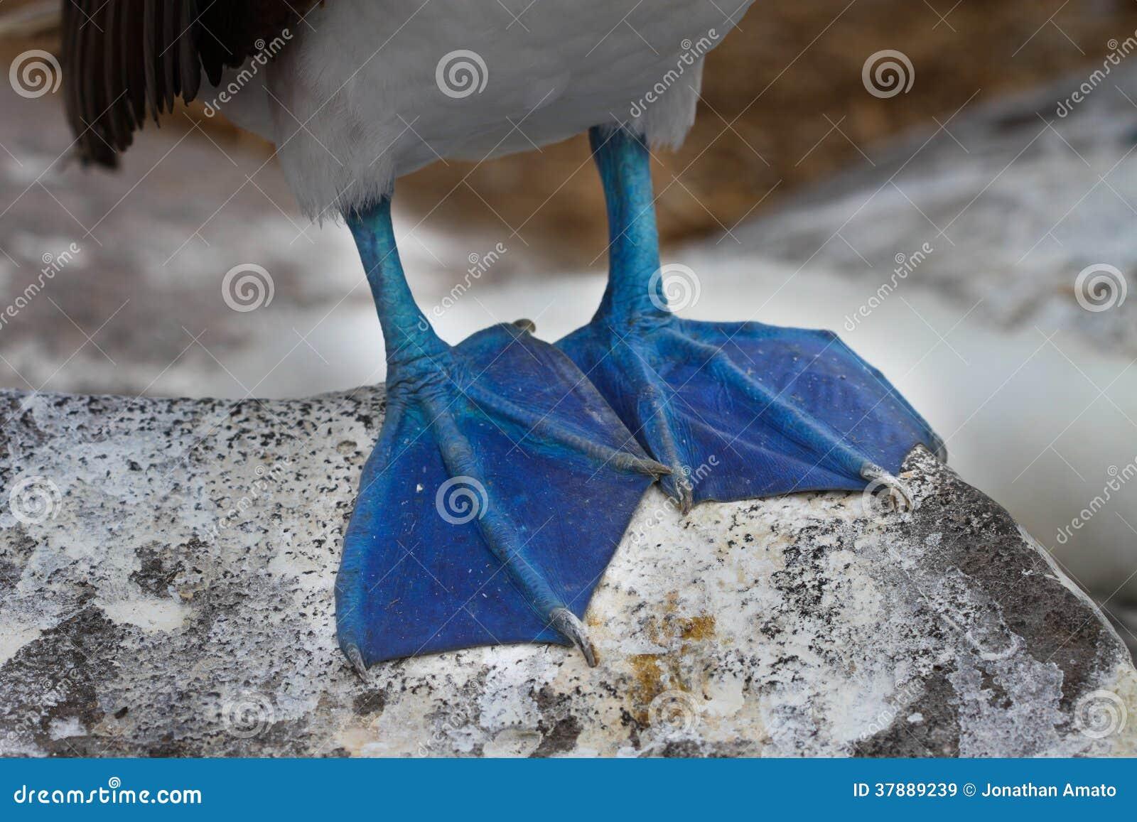 Blauwe Voeten