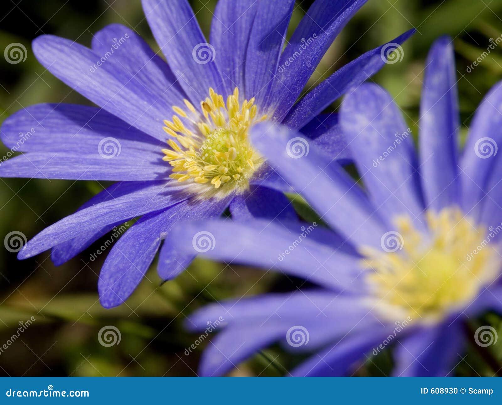 Blauwe Windflowers - Duet