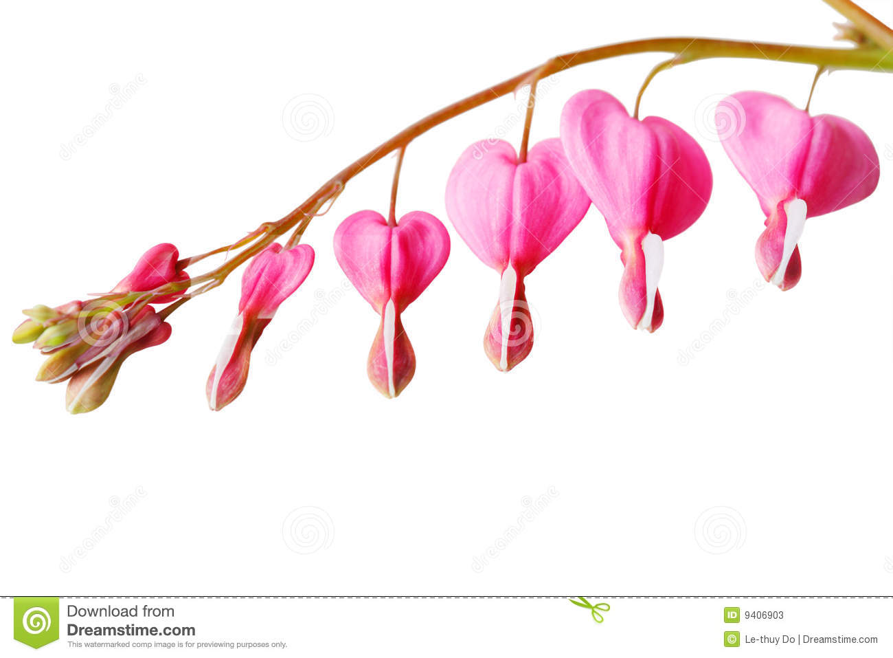bleeding heart flower stock photos image 9406903