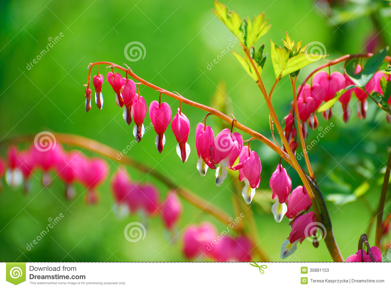how to spring clean a bleeding heart