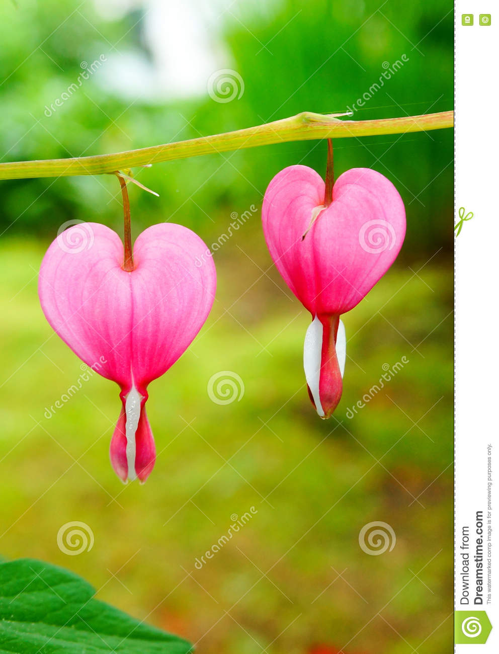Bleeding heart flowers dicentra spectabils stock photo image of bleeding heart flowers dicentra spectabils bouquet idyllic izmirmasajfo