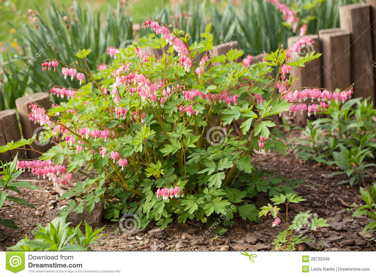 Bleeding Heart Plant In The Spring Garden Stock Image Image