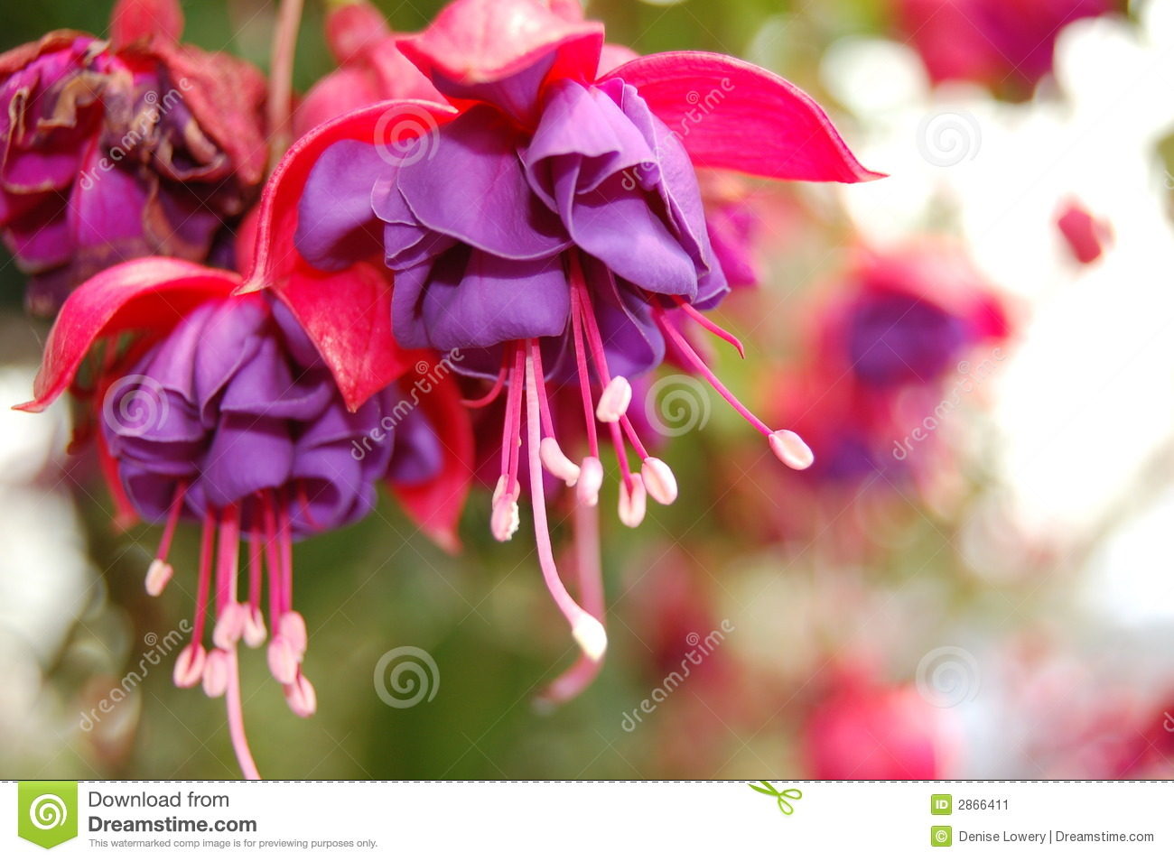 Bleeding hearts stock image image of pink gardening 2866411 bleeding hearts izmirmasajfo Choice Image