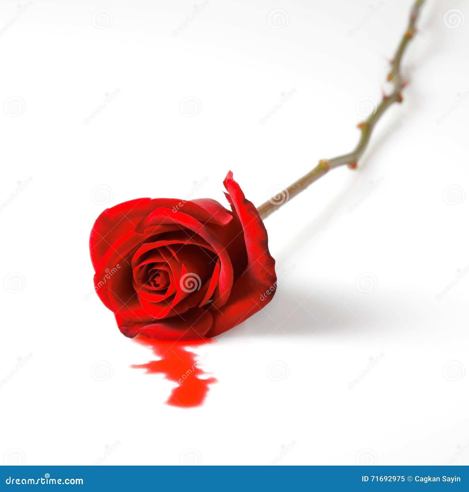 Bleeding red rose stock image image of romantic death 71692975 bleeding red rose mightylinksfo