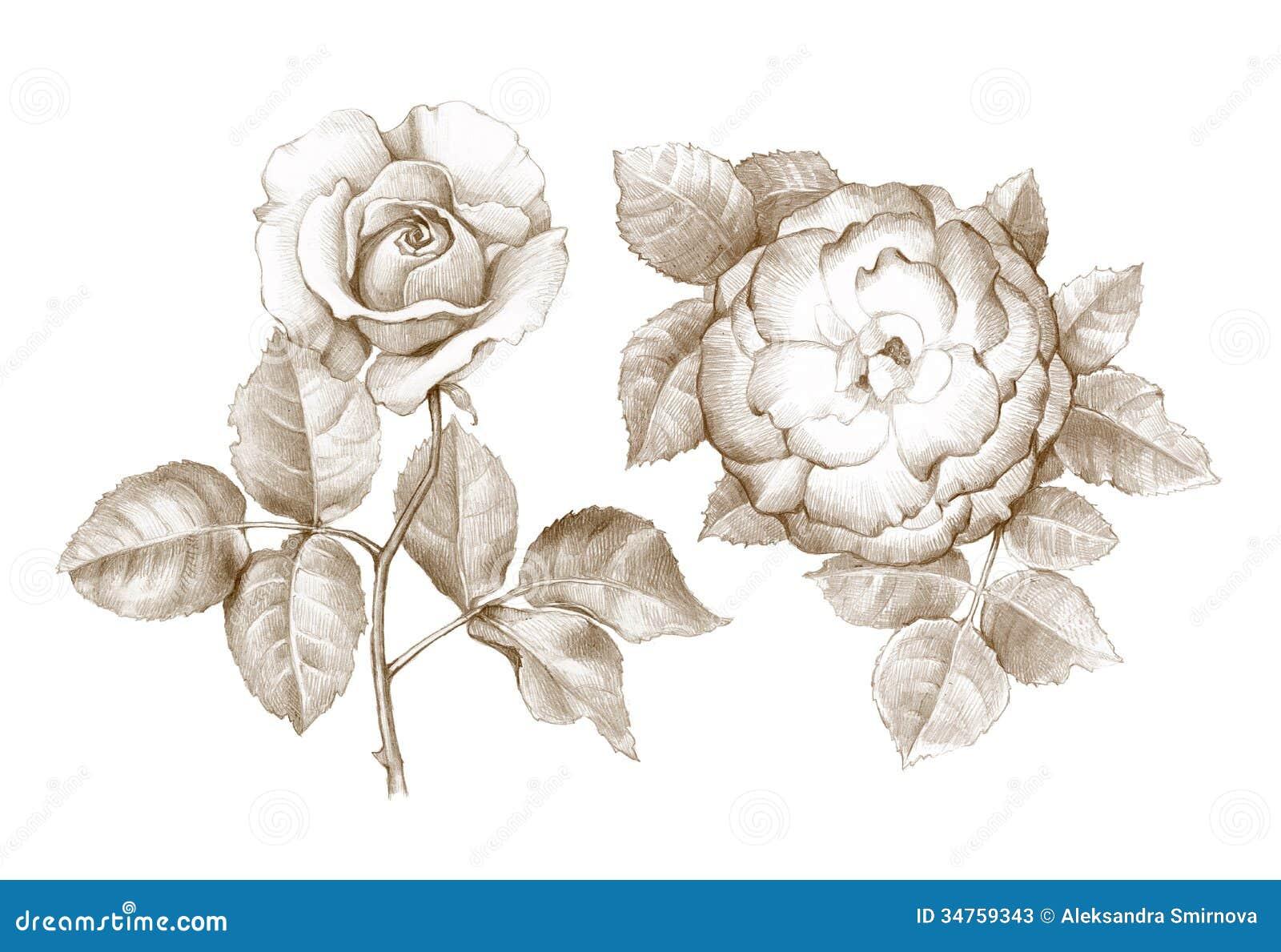 Rosen bleistiftzeichnung  Bleistift-Zeichnung Von Rosen Stockfotos - Bild: 34759343