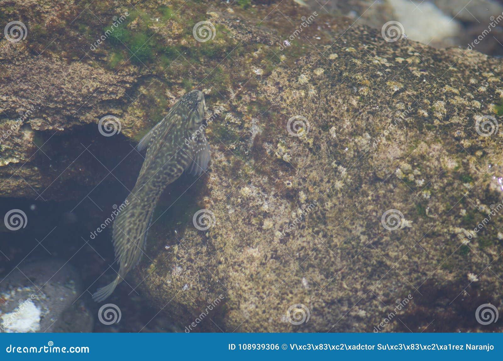 Blenny de Roche-piscine dans la zone intertidale