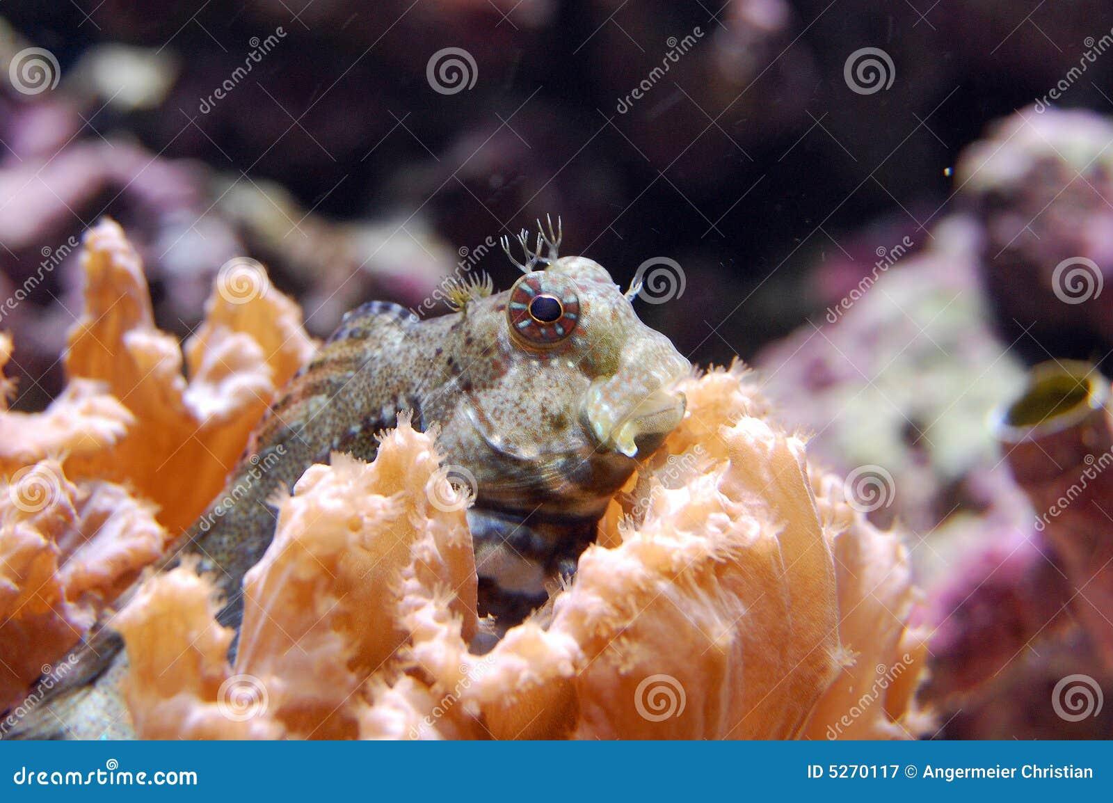 Blenny fasciatus jeweled salarias
