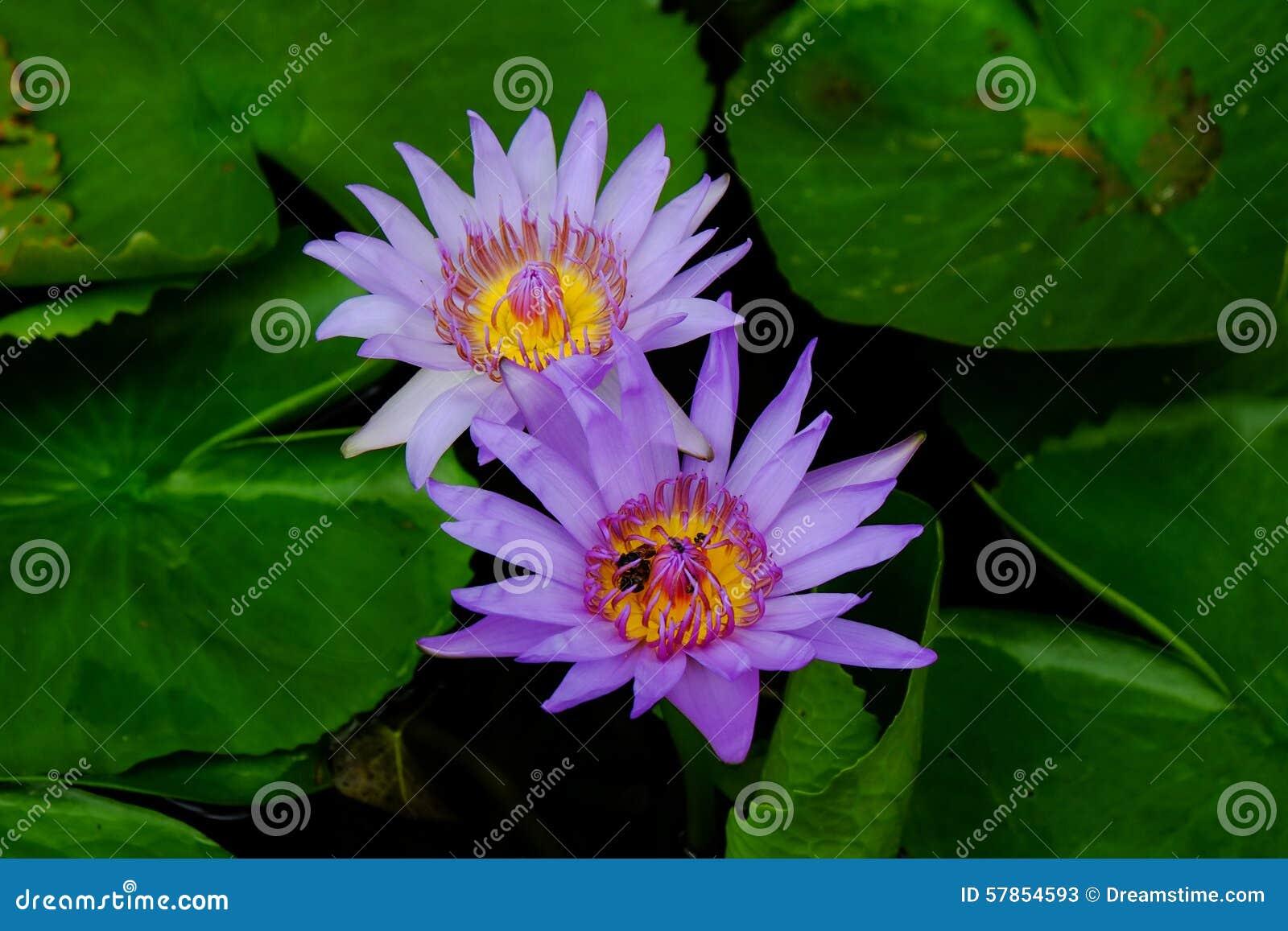 Bliźniaczy purpurowy lotosowego kwiatu okwitnięcie