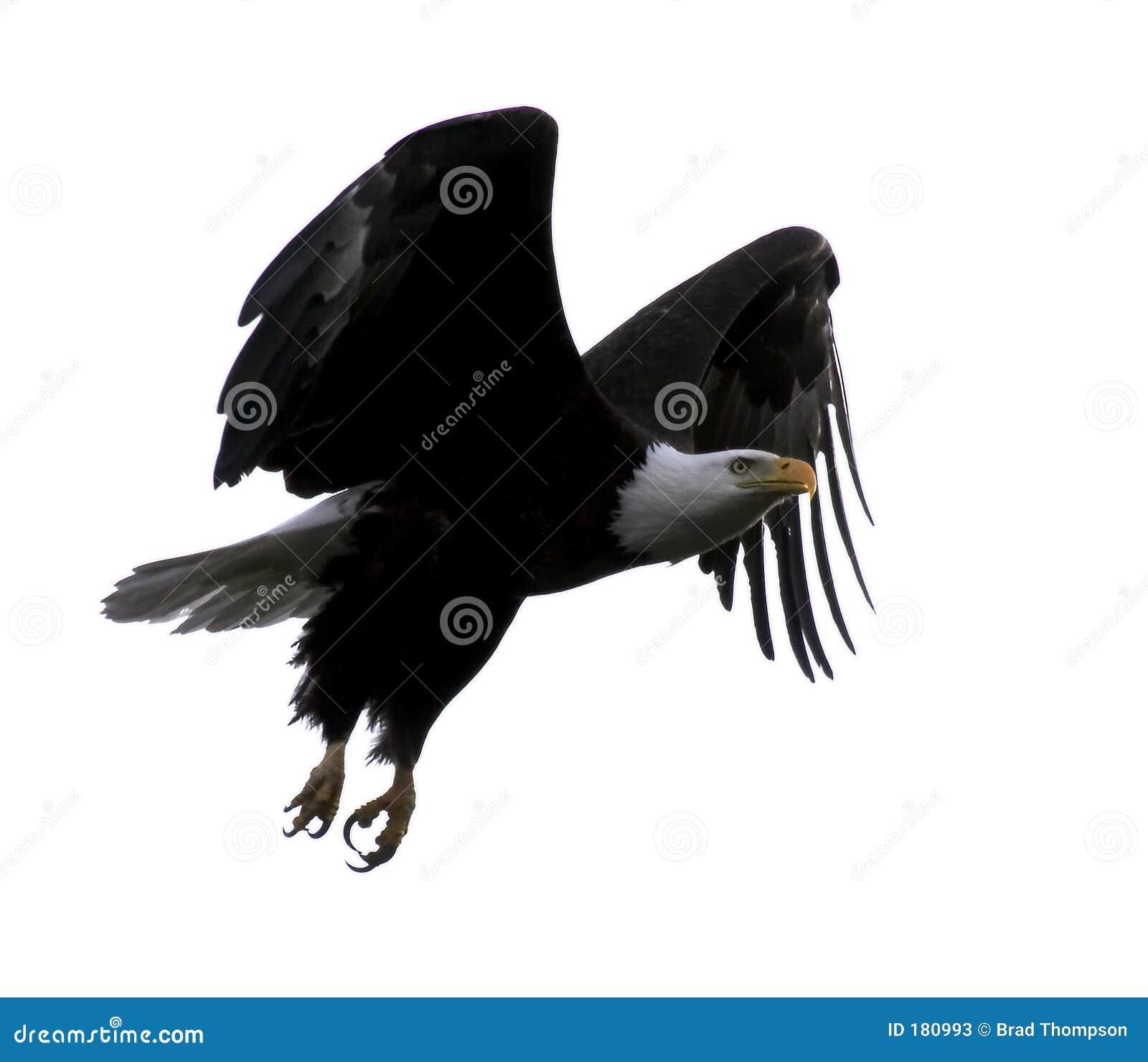 Bli skallig örnflyget