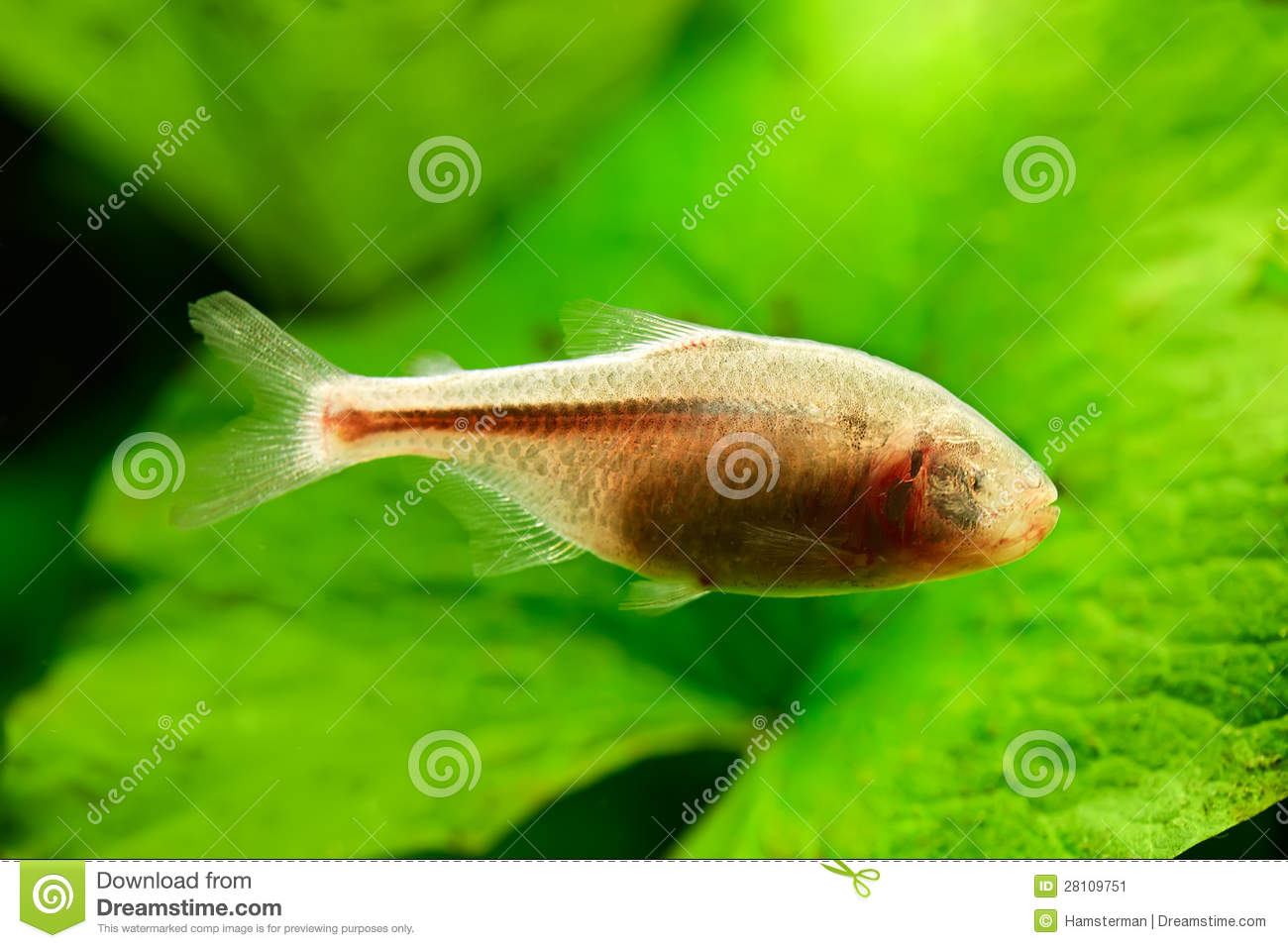 Blind Cave Fish or Mexican Tetra (Astyanax fasciatus mexicanus ...