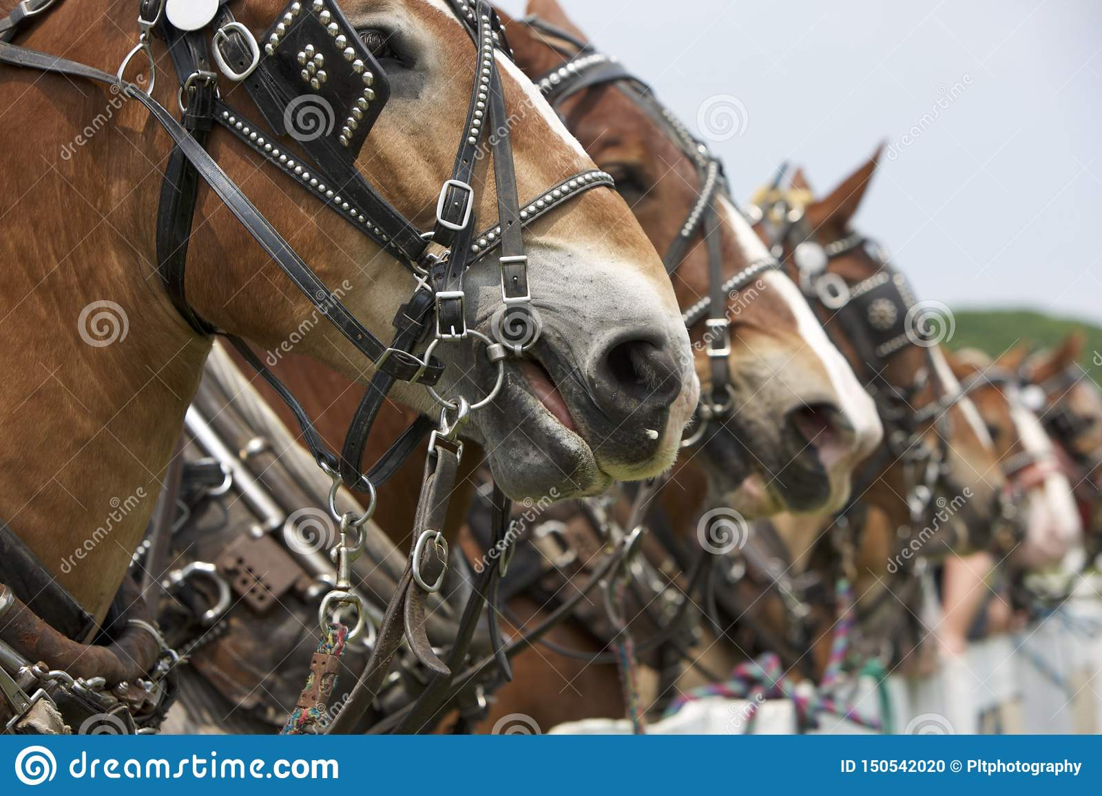Blinders Bits And Bridles Stock Photo Image Of Brown 150542020