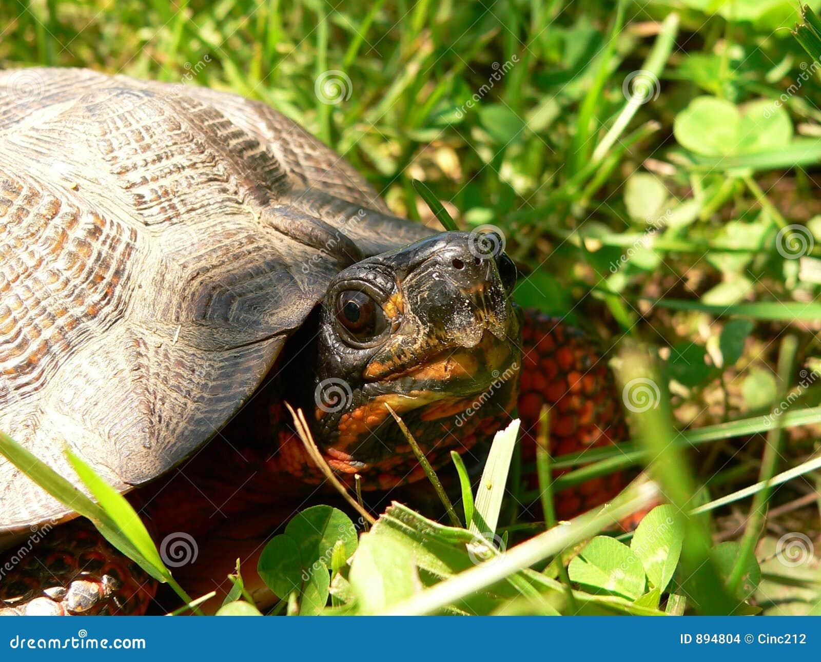 Blisko żółwia drewna