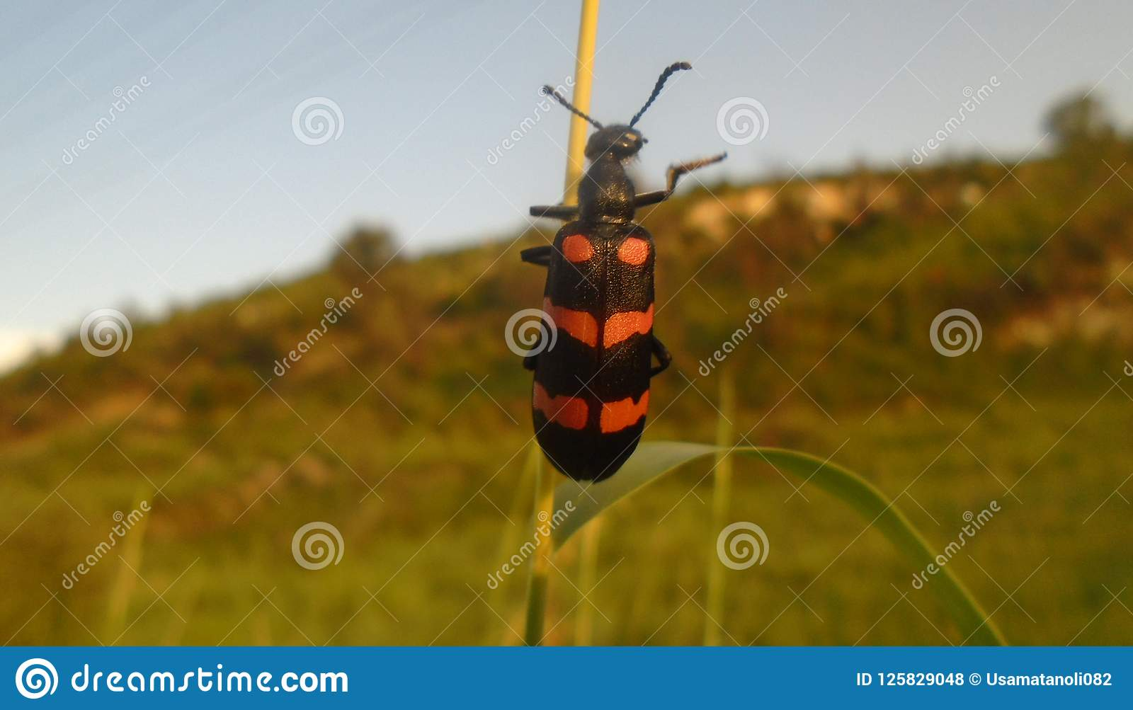 Blister Beetle stock photo  Image of jungle, blister - 125829048